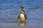 Magellanic penguins out of water - Falkland Islands