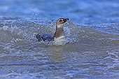 Young Magellanic penguins swimming - Falkland Islands