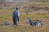 King Penguin and Magellanic penguins - Falkland Islands