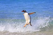 Gentoo penguin out off water- Falkland Islands