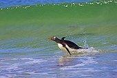 Gentoo penguin out off water- Falkland Islands