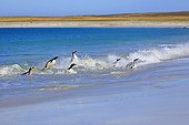 Gentoo penguins out off water- Falkland Islands
