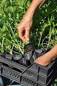 Plantation of celery in a kitchen garden
