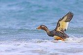 Falkland steamer duck (Tachyeres brachypterus) flapping wings on water, Falkland Islands