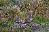 Ruddy-headed goose in tussock grass - Falkland Islands