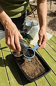 Sowing of celery in a kitchen garden