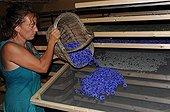 Drying of corneflowers