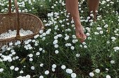 Harvest of roman chamomile in a garden