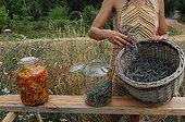 Making of lavender oil in a garden