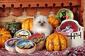 Half Persian kitten and pumpkins - France  ; in front of a shelf of cheese themed Kittens<br>Age: 5 weeks