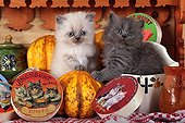 Half Persian kittens and pumpkins - France  ; in front of a shelf of cheese themed Kittens<br>Age: 5 weeks