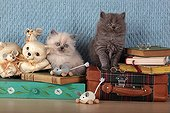 Half Persian kittens on bag and books - France ; Age: 6 weeks