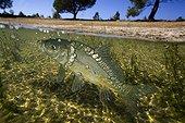 Common carp - Portugal ; Carp, Cyprinus carpio, on lake. Mirror carp variety. Feeding at surface. Surface level view, half emerged half immersed. Digital composite. Portugal. Composite image