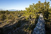 Wall of Plague in Autumn - Provence France  ; Rampart built in the Monts de Vaucluse to protect Vaison in Vaucluse plague struck and part of Marseille Provence in 1720-1722.<br>Mont Ventoux in the distance