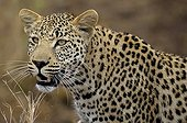 Portrait of Male leopard - Kruger South Africa