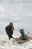 Cormoran huppé au nid - Farne Islands Northumberland RU