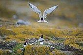 Sternes arctiques sur rochers - Farne Islands RU