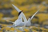 Sternes arctiques en parade sur rocher - Farne Islands RU