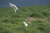 Sandwich Tern mobbing Lesser Black-backed Gull - Farne UK ; on edge of tern colony which was attempting to steal eggs