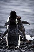 Adelie penguins on the shore - Antarctica ; Peek a boo penguin