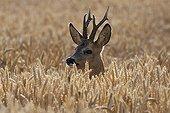 Roe ; Roe Deer buck / (Capreolus capreolus) / Germany, rye