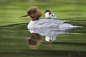 Common Merganser ; Common Merganser / (Mergus merganser) / Germany, female with chick