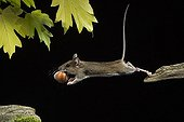 Yellow-necked Mouse ; Yellow-necked Mouse / (Apodemus flavicollis) / with nut, Germany
