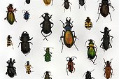 Beetle ; Beetle collection in show case, european species, Germany
