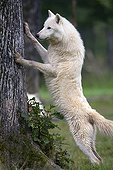 Actic Wolf ; Arctic Wolf / (Canis lupus arctos)