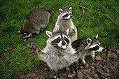 Raccoon ; Raccoons / (Procyon lotor)