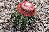 Turk's head cactus on gravel