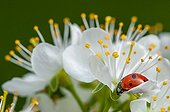 Ladybug on flower Mirabellier - Lorraine France