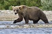 Grizzly walking on riverbank - Katmai Alaska USA
