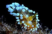 Sea Slug in the reef - Mediterranean