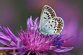 Silver-studded Blue - Germany ; Idas Blue, male, Mecklenburg-Western Pomerania, Germany / (Plebejus idas)
