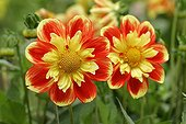Dahlia Flower ; Dahlia Pooh / (Dahlia spec.)