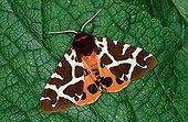 Garden Tiger - Europe ; Garden Tiger / (Arctia caja)
