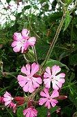 SIlènes roses en fleurs - Bretagne France