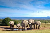 African Elephants at water - Addo Elephant NP South Africa
