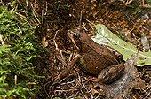 European Frog female filled with eggs - Denmark