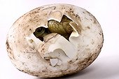 Hatching Marginated Tortoise on white background  ; Park Turtles 'A Cupulatta'