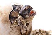 Hatching Western Hermann's tortoise on white background  ; Park Turtles 'A Cupulatta'
