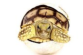 Hatching African Spurred Tortoise on white background  ; Park Turtles 'A Cupulatta'
