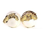 Hatching African Spurred Tortoises on white background  ; Park Turtles 'A Cupulatta'