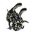 Roti Island snake-necked turtles on white background ; Park Turtles 'A Cupulatta'