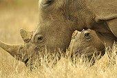 White Rhinoceros in savannah - Kruger NP South Africa