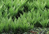 Ostrich ferns in a garden