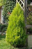 Monterey cypress 'Wilma' in a garden
