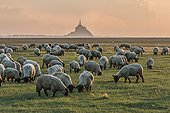 Salt meadow sheep in front of the Mont Saint-Michel - France