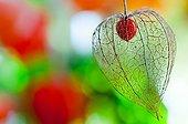 Physalis in fruit in a garden